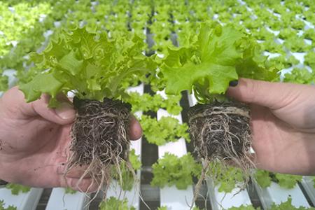 Kuvassa kolmen viikon ikäisiä salaatin taimia. Vasemmalla sammalta sisältävä kasvualusta ja oikealla salaattiturve.